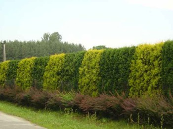 кустарники для изгороди
