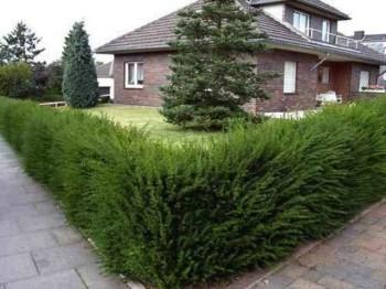 как выбрать растительность для изгороди