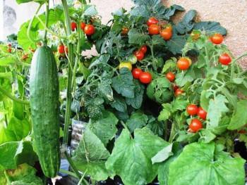 совместимость томатов на огороде