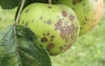 парша на яблоне и груше