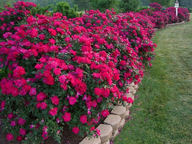 кустовая роза на даче